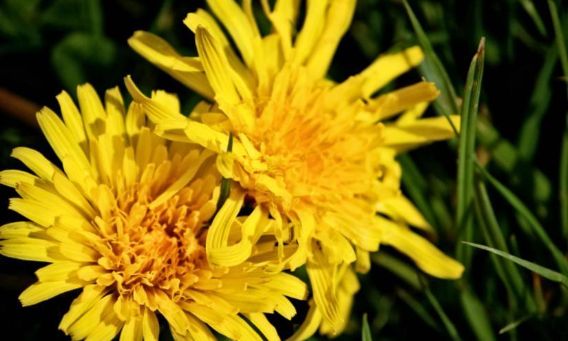 Dandelion is on the Menu, Spring HasSprung
