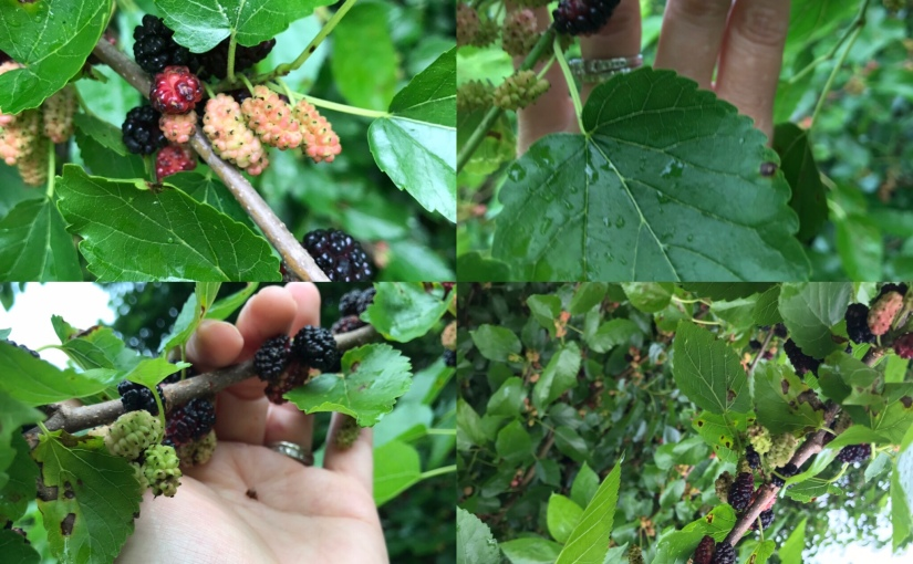 Mulberry Madness,  A Sweet Reminder Summer isHERE!